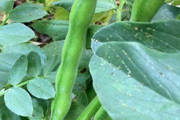 Boad Beans