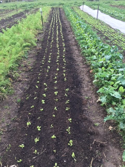 Vegetables growing at Felds Farm
