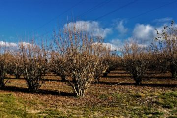 Tasmanian Truffles trees