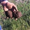 Tasmanian-truffles-freshly-dug